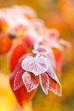 Frost sur les feuilles rouges se ferment en automne Images libres de droits