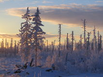 Frost in taiga Stock Image
