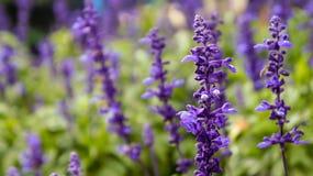 Frost-Tau auf Lavendelfeld lizenzfreies stockfoto