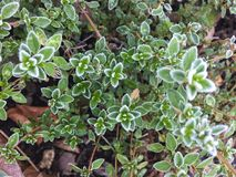 Frost on Thyme Stock Image