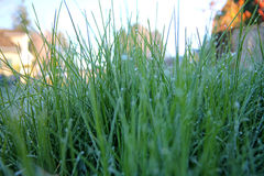 Frost tippat gräs Royaltyfri Foto
