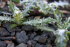 Frost tipped weeds Royalty Free Stock Image