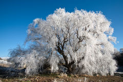 Frost tree. Frost covered tree on river bank royalty free stock photos