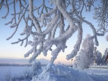 Frost on a tree. In Arjeplog, Christmas time royalty free stock photos