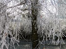 Frost on a tree branch in winter Royalty Free Stock Photo