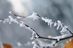 Frost on a Tree branches Stock Photo