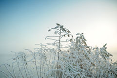 The frost on the tree. In the misty morning Royalty Free Stock Image