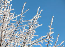 Frost trees covered against the blue sky Royalty Free Stock Image