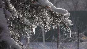 Frost on trees. Flat pp. 50fps Winter fir-tree Forest with Snowy Christmas Trees. stock footage