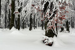 Frost on trees in forest with fog in winter Stock Photography