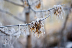 Frost on the branches of a tree. Nature in winter. Hoarfrost, rime and hoar. Morning in the forest, frost on the branches , close-up Royalty Free Stock Photo