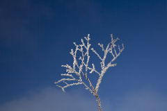Frost on twig. Close-up of a twig covered with hoar frost against a deep-blue sky Royalty Free Stock Photography