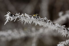 Frost on a twig. Stock Photo