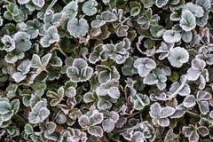 Frost umfasste Vegetation stockbild