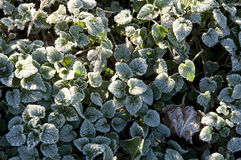 The frost Royalty Free Stock Photography