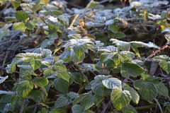 Frost. On the vegetation in the winter morning Royalty Free Stock Photography