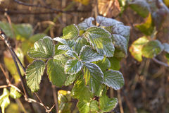 Frost. On the vegetation in the winter morning Royalty Free Stock Images