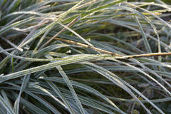 Frost. On the vegetation in the winter morning Stock Photos