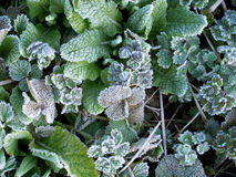 Frost, water drops and leaves texture Royalty Free Stock Photography