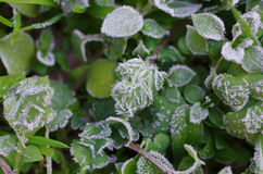 Frost on the weeds Royalty Free Stock Photo