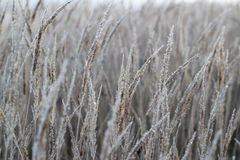 Frost on the wheat Stock Images