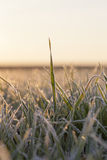 Frost on the wheat Royalty Free Stock Images