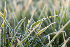 Frost on the wheat. Photographed close-up of young sprouts of wheat with frost on it, morning, sunny yellow dawn, a small depth of field Stock Photo