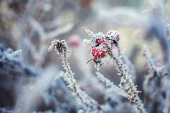 Frost on the wild rose royalty free stock photos