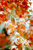 Frost on a winter red maple leafs Royalty Free Stock Image