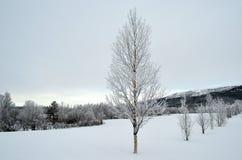 Frost y la escarcha cubrieron el árbol de abedul Fotografía de archivo