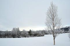 Frost y la escarcha cubrieron el árbol de abedul Foto de archivo libre de regalías