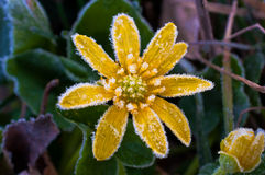 Frost on yellow flower Stock Photos