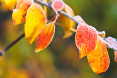 Frost on yellow, red leaves in autumn Royalty Free Stock Images