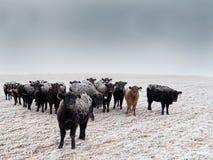 Frost-zurück Vieh Lizenzfreie Stockfotos