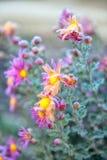 Frostad krysantemum Royaltyfria Foton