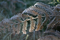 frostad leaf för fern Royaltyfri Foto