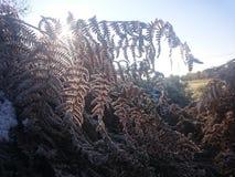 Frostad ormbunke Royaltyfria Foton