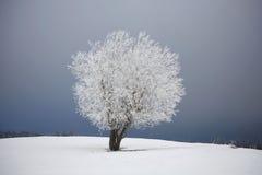 frostad tree Arkivfoto
