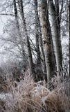 Frostade björkträd och gräs royaltyfri bild