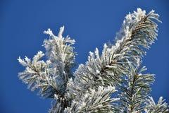 Frostade filialer av ett sörjaträd, blå himmel Fotografering för Bildbyråer
