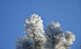 Frostade filialer av ett sörjaträd, blå himmel Arkivbilder