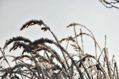 Frostade grässtrån på gryning Royaltyfria Foton