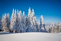 Frostade granträd och en blå himmel Fotografering för Bildbyråer