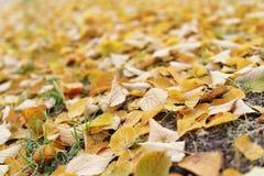Frostade gula lindsidor på jordningen Royaltyfria Foton