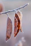 Frostade höstsidor på trädfilial Flera Autumn Orange Leaves Covered With FrostTree filial med gulingsidor och is close fotografering för bildbyråer