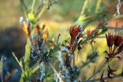 Frostade knoppazaleor Royaltyfria Bilder