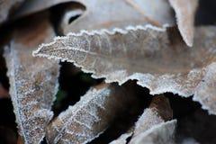 frostade leaves Arkivfoto