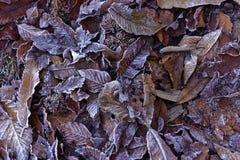 frostade leaves Royaltyfria Bilder