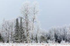 Frostade norr trän Fotografering för Bildbyråer