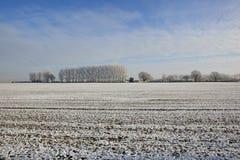 Frostade poplartrees Royaltyfri Foto